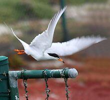 Flight of the Tern by CarolM