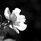 the white rose? by Dinni H