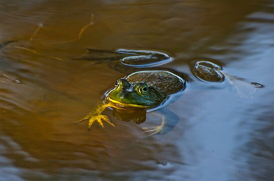 Frog Relaxing by imagetj