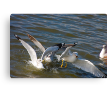 Seagulls in the Water Canvas Print
