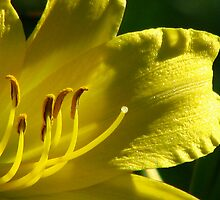 The Yellow Lily by swaby
