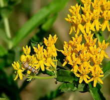Yellow Butterfly Weed - Asclepias tuberosa by Lee Hiller-London