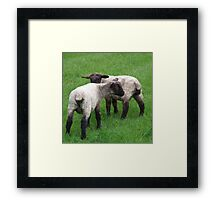 Twin baby lambs  Framed Print