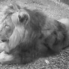 Lions Dream by Davies72