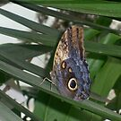 Butterfly 1 by Davies72