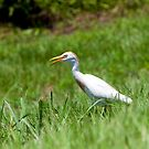 Cattle Egret by Charlie