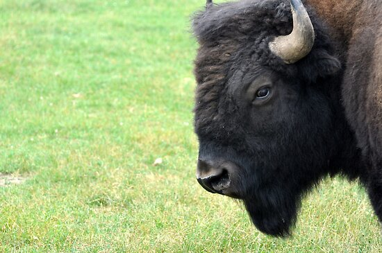 The Bison by Corkle