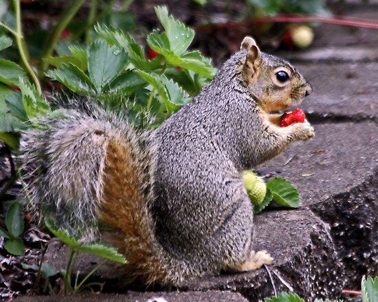 I Shot this Little Thief Eating my Strawberries  by Chuck Gardner