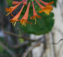 Honeysuckle flower on a vine by PhotoCrazy6