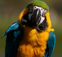 Blue-and-yellow Macaw - popular as pets by Joy Leong-Danen