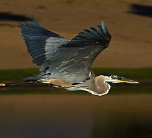 060810 Great Blue Heron by Marvin Collins