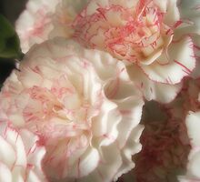 Almost White Carnations 7 by Christopher Johnson