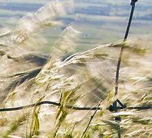 Panarama of Barley Grass & Fence by trevallyphotos