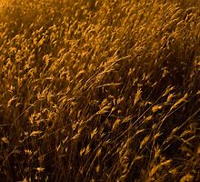 Barley Grass in Sunset Light by trevallyphotos