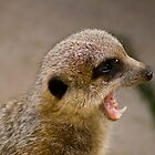 meerkat roar by paul erwin