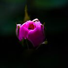 Rosebud by Alicia Roberts