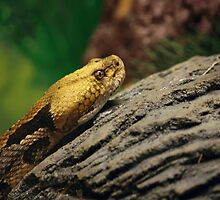 Timber Rattlesnake by Victoria DeMore