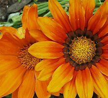 GAILLARDIAS by Terra 'Sunshine' Gilbert