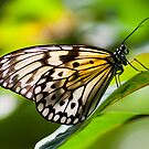 Yellow Butterfly by Sam Scholes