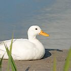 Peaceful White Duck by Mark  Humphreys