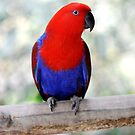 Sitting Pretty - Eclectus parrot by Jenny Dean