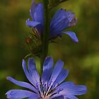 chicory flower by Dawn Barger