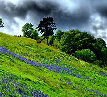Knockfarrel Bluebells by John Ellis