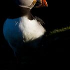 Atlantic Puffin (Fratercula arctica) by Gabor Pozsgai