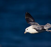 Fulmar ( Fulmarus glacialis ) in flight by Gabor Pozsgai