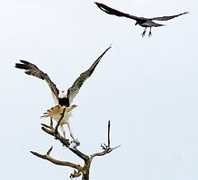 10-141 ~ Grackel & Osprey fight for fish by djyoriginals