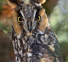 Long Eared Owl From Ahmerst Island by Gary Fairhead