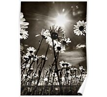 sundrenched daisies ..... Poster