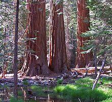 Trio of Redwoods by David J Dionne