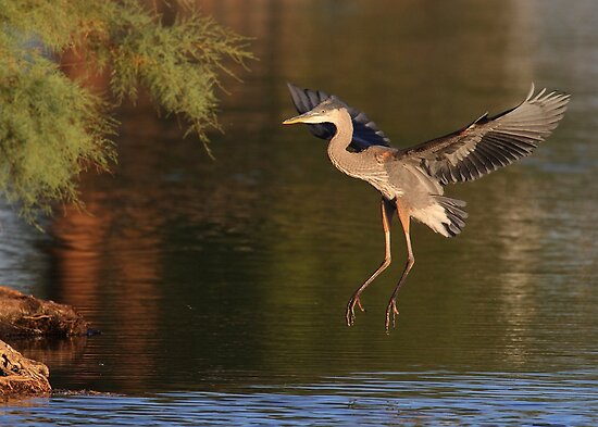 Great Blue Heron juvenile by DavidQuanrud