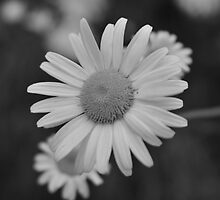 Daisy In Black and White by mnkreations
