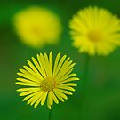 Yellow flowers by roumen