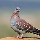 Speckled pigeon by Paulo van Breugel