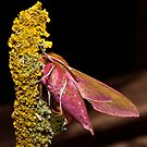 Elephant hawk moth by Shaun Whiteman