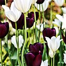 Purple and White Tulips by T.J. Martin