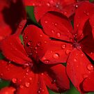 Dewdrops on red geranium by richeriley