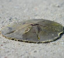 Sand Dollar by Jcook