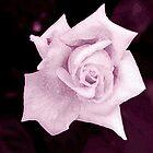 Pink Rose II by Igor Shrayer