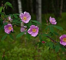 Sitka Roses by Sally Winter