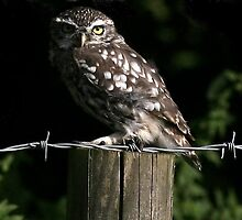 The Little Owl - None Captive by snapdecisions