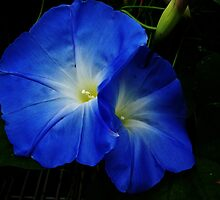 Good morning glories by Poete100