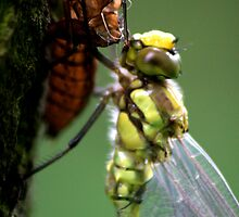 Dragonfly emerged from it's exoskeleton by jennimarshall