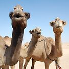 Doo Wop Camels by nomadgirl