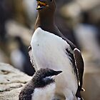 Guillemot with Chick - Uria aalge (Auks  (Alcidae) by David Lewins