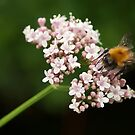 Honey bee on valerian flower by steppeland
