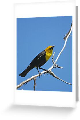 Yellow-Headed Black Bird by Rich Summers